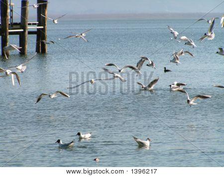 Lakes Seaguls