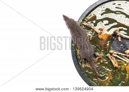 A Rat In Glue Trap On White Background