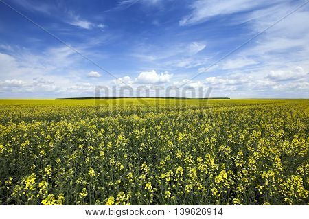 agricultural field on which it grows rapeseed blooming yellow flowers. Spring