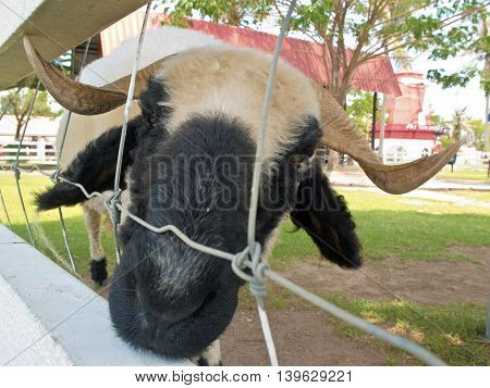 Close up to Black face of White Sheep