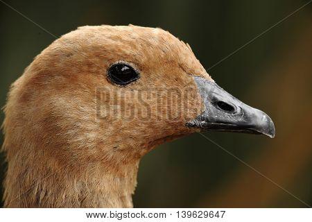 portrait of a beautiful wild brown duck