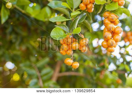 Orange berries with green leaves on the tree