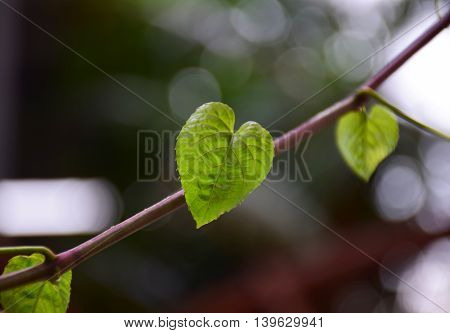 Many Green Heart Leaf shape on nature background. Abstract of love in nature