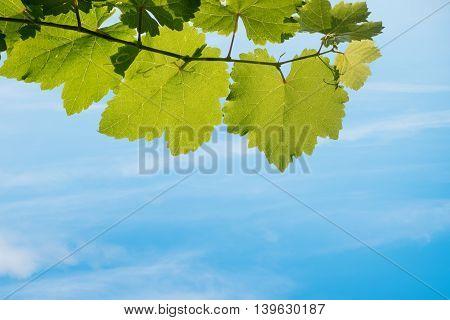 Fresh Green Grapes Vine On Blue Sky Background