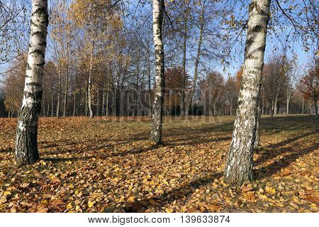 birch trees photographed during the autumn season in the city park, yellowed foliage, small DOP, Belarus