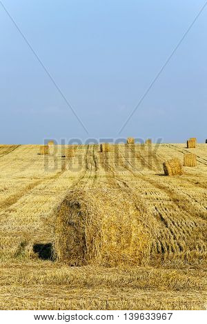 agricultural field where harvest of cereals, close up