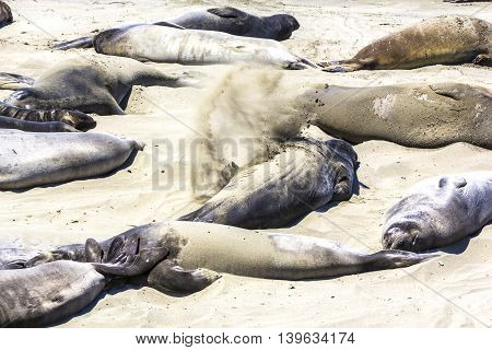 Sealions Relax At The Beach