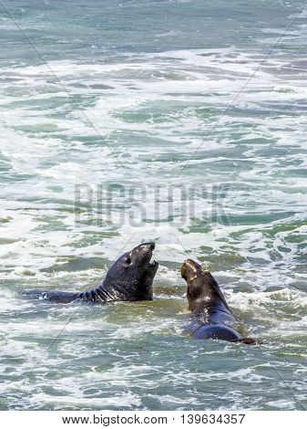 Sea Lions Fight In The Waves Of The Ocean