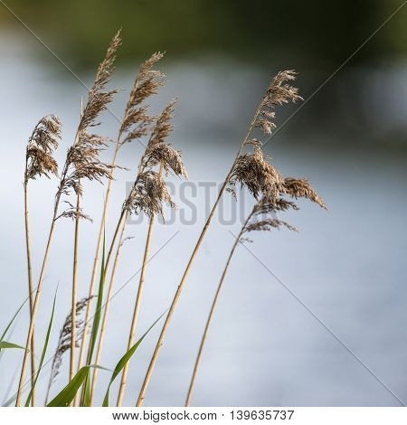 Shallow Depth Of Field View Of Reeds Over Lake In Summer Season