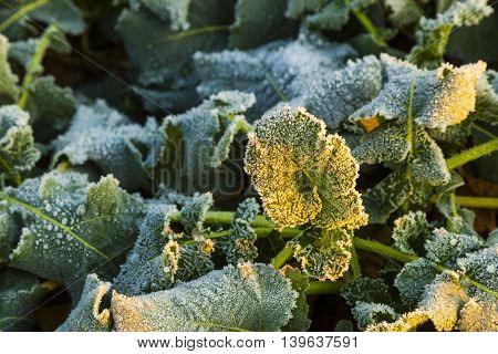 Icy Leaf Of Plant In The Field