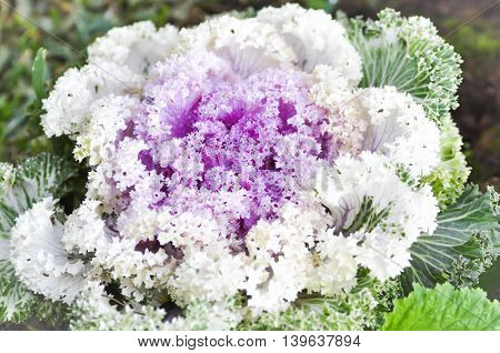 Ornamental cabbage plant in the garden , Ornamental cabbage