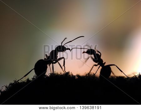 Ants silhouetted at sunset. Pink and Black. Macro.