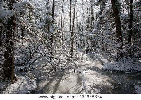 Snowfall after wetland stand in morning with snow wrapped trees and frozen water around, Bialowieza Forest, Poland, Europe