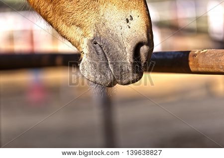 Horse Licking The Rusty Fence In The Outdoor Stable