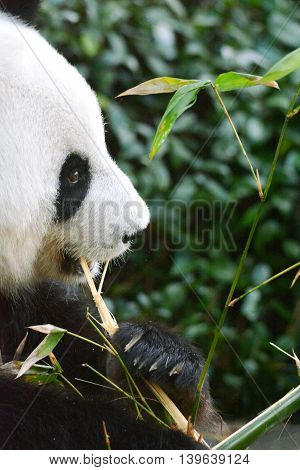 Giant Panda eating bamboo snack in natural surrounding