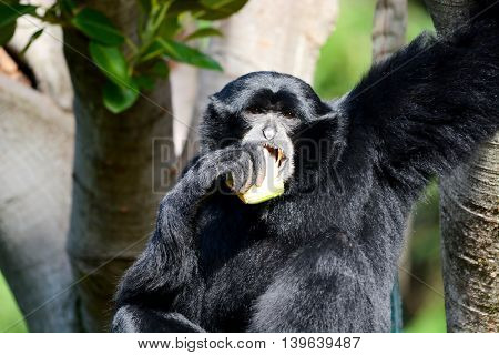 Siamang eating snack while holding onto tree