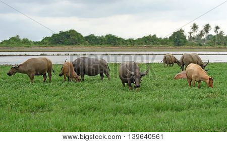 Asian Water Buffalo Or Bubalus Bubalis