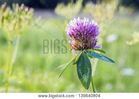 Clover blossom in a blurry summer meadow
