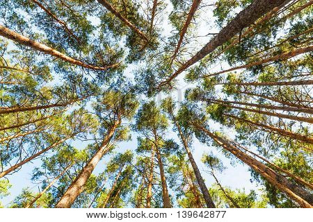 Pine forest view from below, the high tall pines.