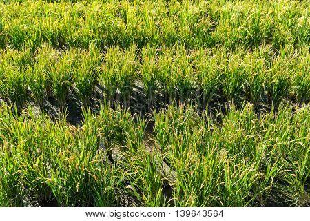 Paddy green Rice Fields