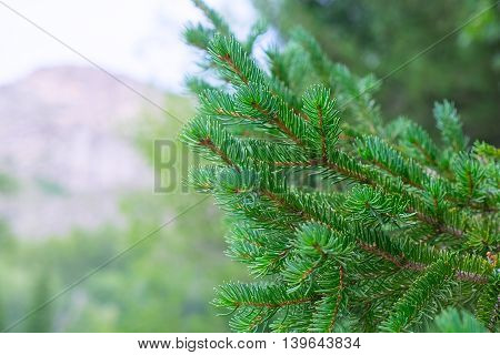 Pine branch. Young green pine branches. Spruce branches in the wood.