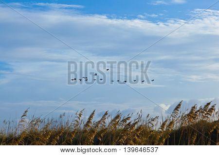 flock of pelicans in the air in blue sky