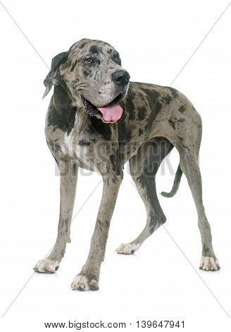 Great Dane in front of white background