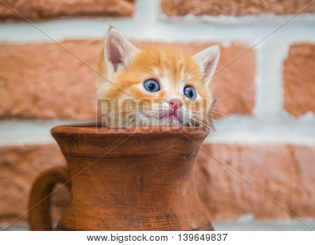 Curious red kitten peeking out of the jar close-up