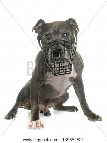 old pitbull and muzzle in front of white background