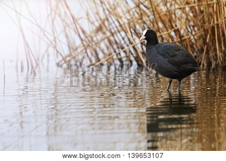 coot standing water, black bird, waterfowl, wildlife, unique momentwith sunny hotspot