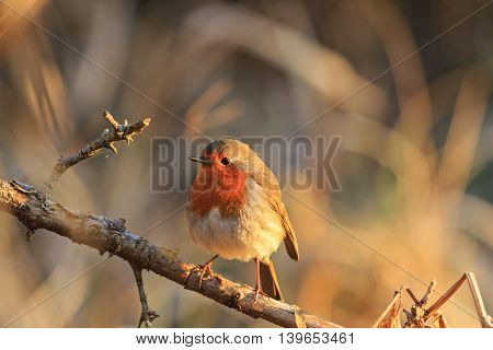 robin in the rays of the rising sun, symbol of Christmas, Symbol UK