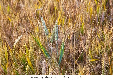 Corn Field With Spica In Detail