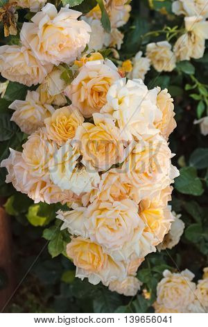 bush of yellow roses on a background of green leaves close-up