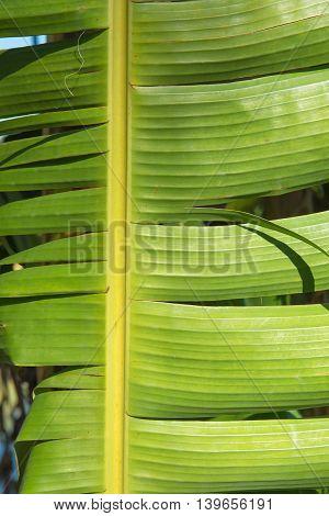 Green Banana Leaf natural Background for wallpaper