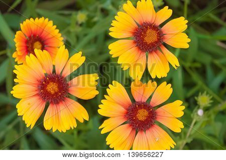 Yellow flowers with a red heart close up on a background of grass