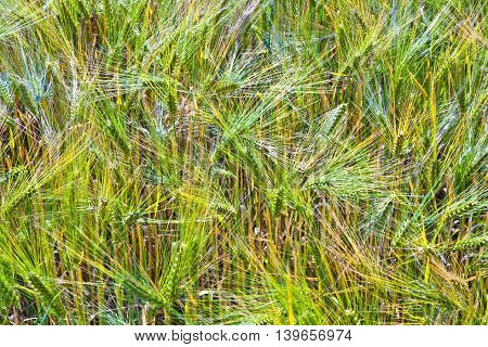 Spica Of Wheat In Corn Field
