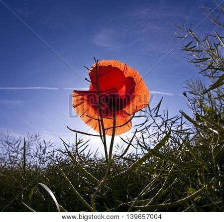 Poppy Flower In Meadow In Morning Light