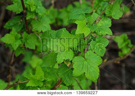 Green fresh currant leaves on tha dark background