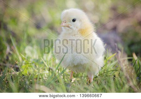 cute little chicken in my green garden