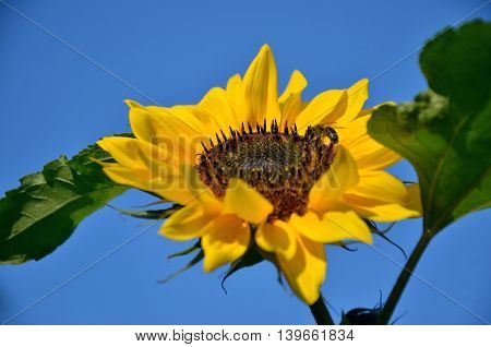 Close-up honeybee on sunflower with blue sky in background