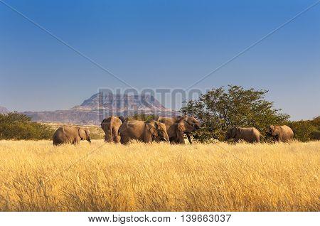 Herd of Elephants in Sossusvlei Namibia, Africa