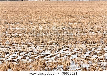 field in winter with frozen corn as agriculture background