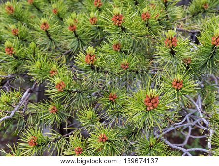 Pine Needles Close Up with tiny pine cones budding