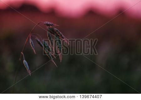 Wild meadow grass on sunrise sky background
