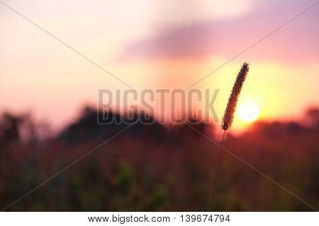 Beautiful wild meadow grass in sunrise