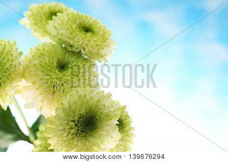 Beautiful chrysanthemum on light background