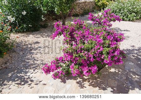Blossoming Pink Bougainvillea