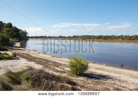 Bibra Lake natural reserve with native plants,calm waters and wetland ducks and birds under a blue sky in Western Australia.