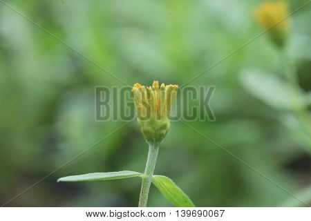 yellow budding bloom daisy flower with green leaf background in garden or park outdoor in day time