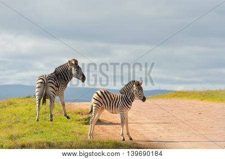 Zebras in Addo national park, South Africa